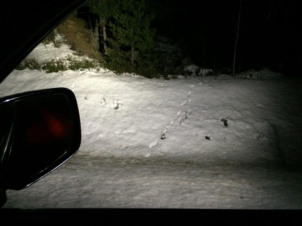 Nattens spor etter ulv...